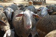 Cordero de Ibiza se encuentra en una crítica situación de extinción