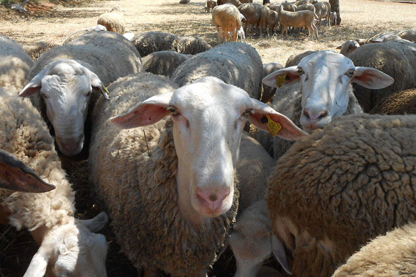 Lamb native Ibiza is in a situation of near extinction