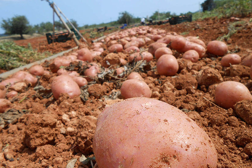 Ibiza's red potato. Reviving the traditional flavours of the field