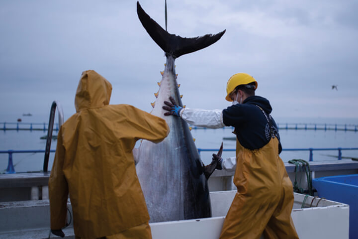 Fishermen with bluefin tuna. Balfegó