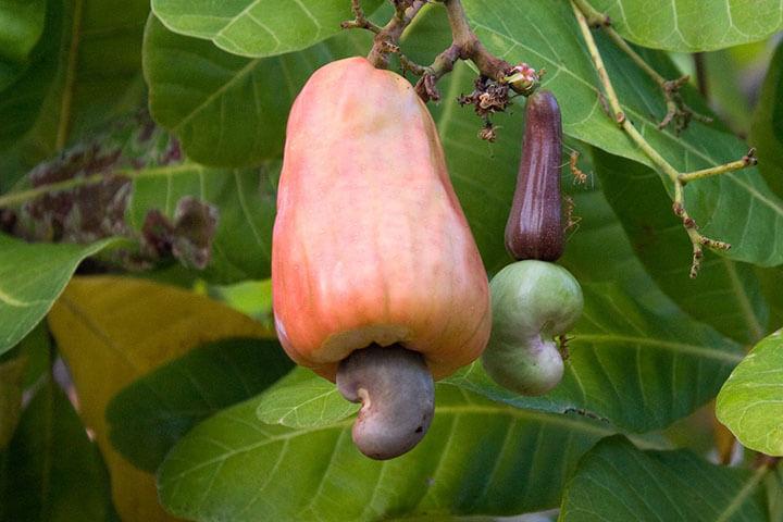 Frutos del anacardo