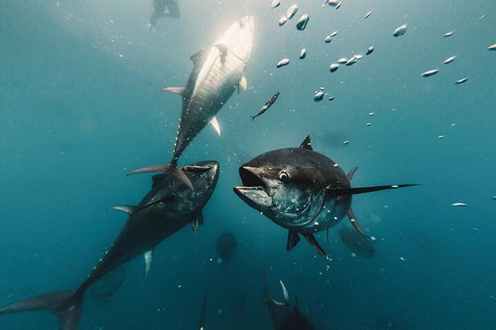 Bluefin tuna Balfegó