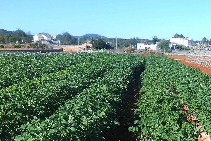 Cultivo de patata roja ibicenca