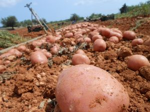 Ibiza's red potato plantation