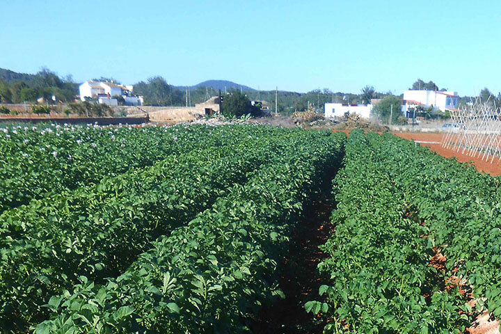 ibiza red potato plantation