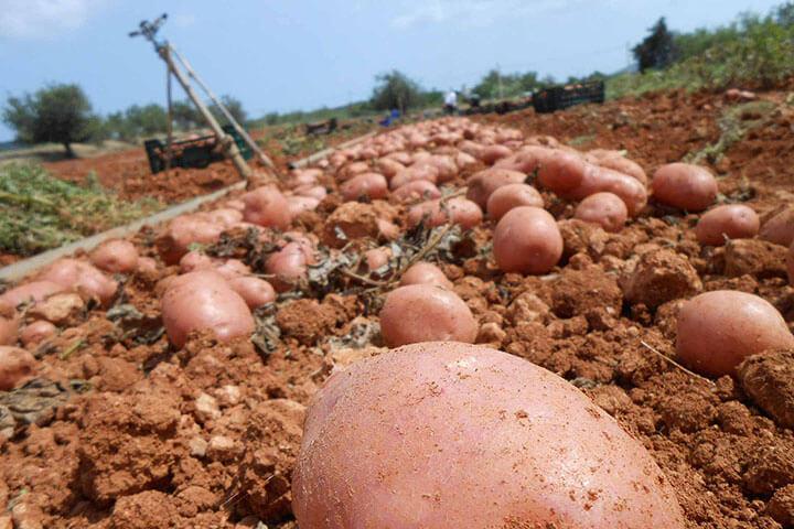 Ibiza's red potato plantation