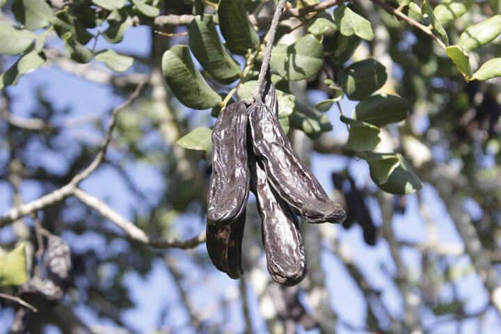 Fruto de la algarroba en el árbol.