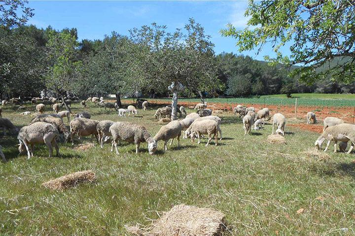Corderos de Ibiza pastando