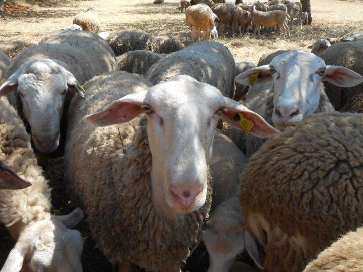 Ibiza lamb