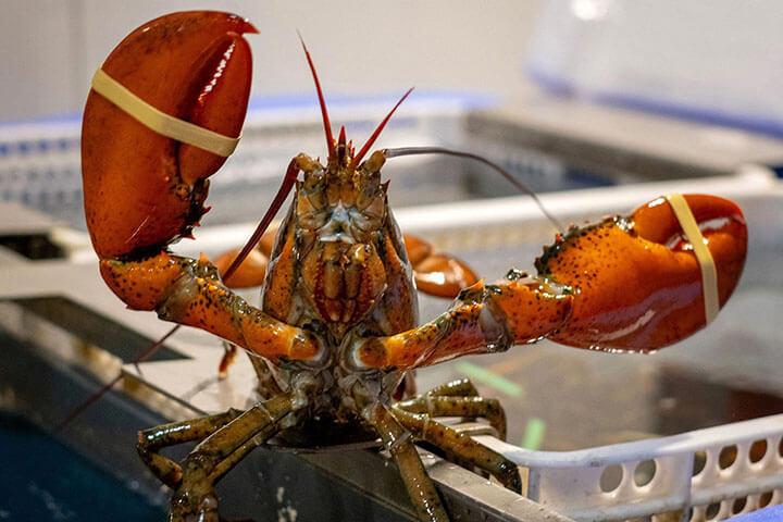Lobster alive. Pescados Consuelo y Pardalet. Ibiza