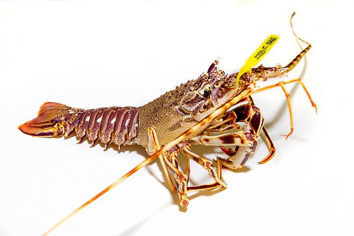 Ibizan lobster