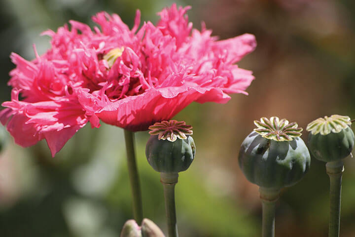 Opium poppy. Ibiza