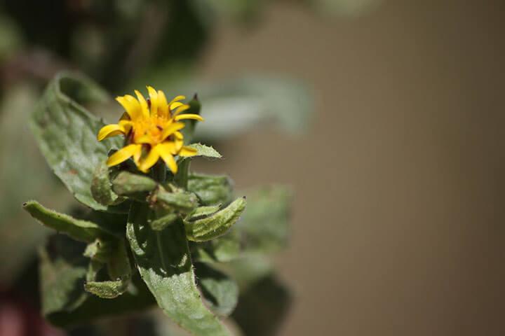 Yellow flower. Ibiza