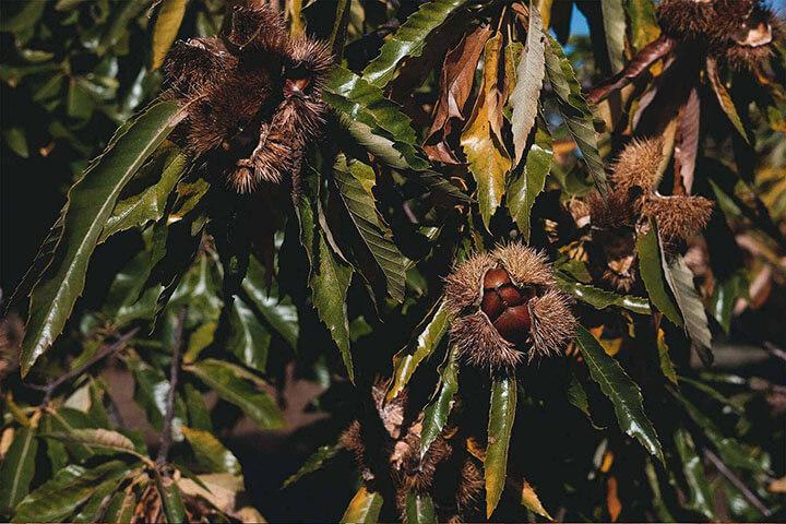 Chestnuts, AgroAguiar