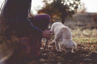 Perro trufero olisqueando trufas