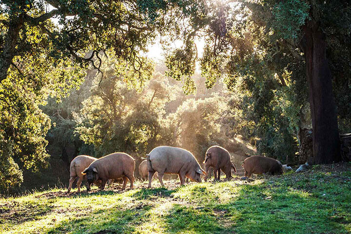 Cerdos ibéricos de montanera