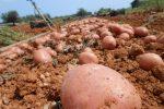 Patata roja de Eivissa. Recuperando los sabores auténticos de la huerta